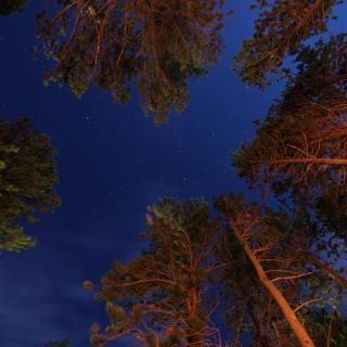 a view from the ground, looking up, at the tops of evergreen trees with a starry sky above. A warm glow of campfire is reflected off of the trees' trunks.
