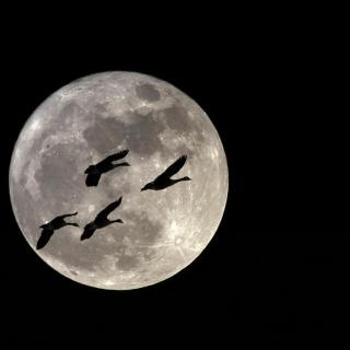 The silhouette of geese against a full moon