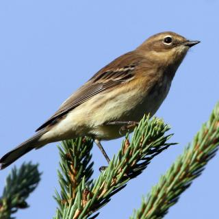 yellow-rumped warbler on pine brand, blue sky background