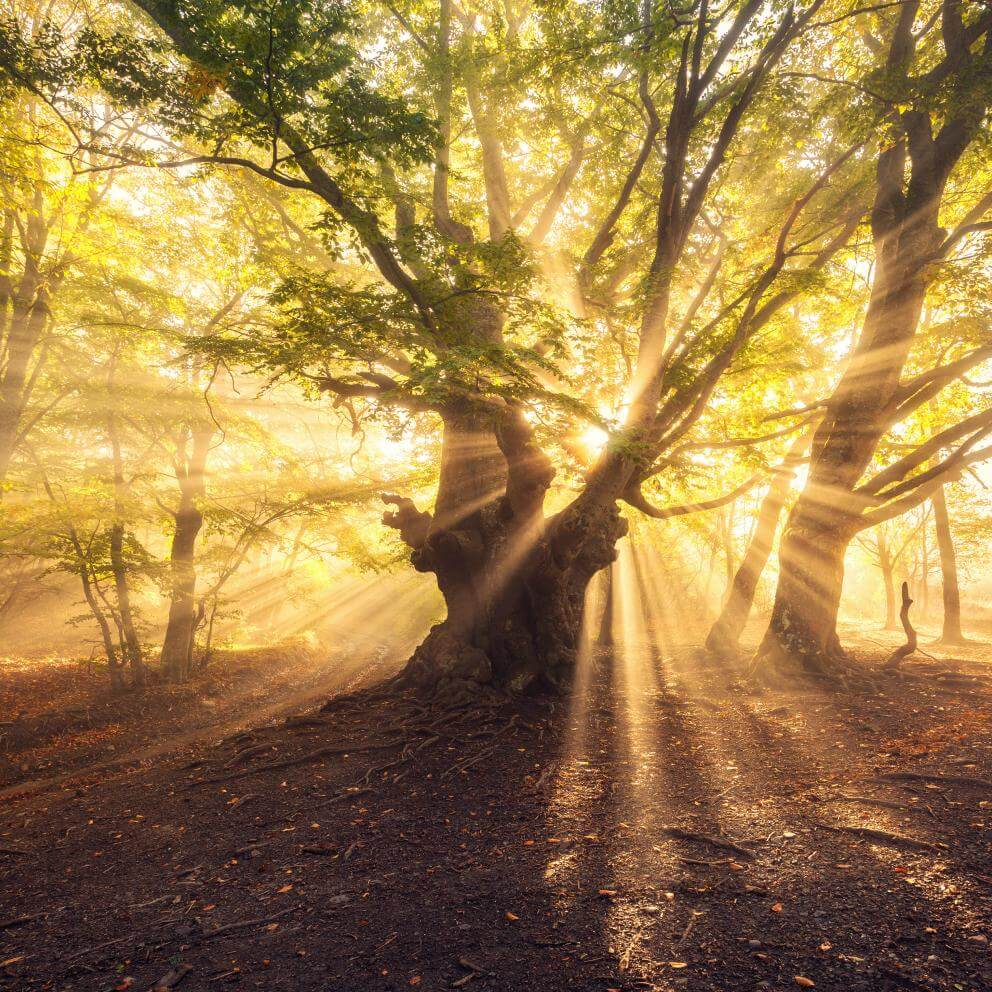 old tree with sun rays at sunrise Foggy forest - Stock image